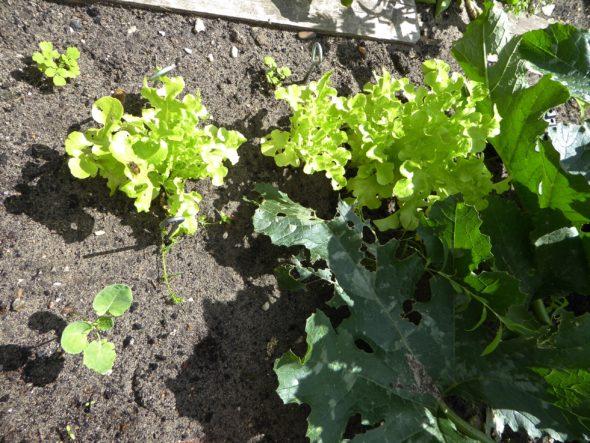 Sla en broccoli moestuin