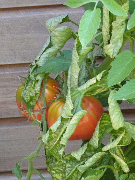 Tomaten eigen tuin