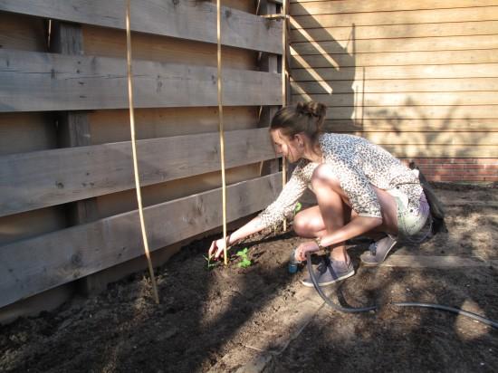 Bonenstaak in tuin