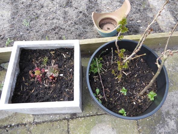 Rabarber en zwarte bessen in tuin