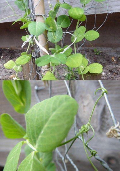 Peultjes groeien