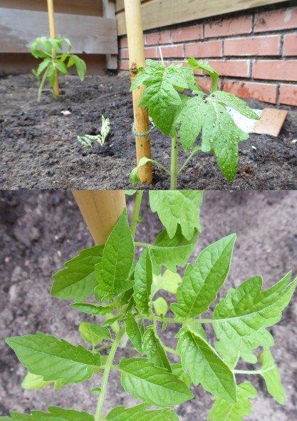 Tomaten groeien