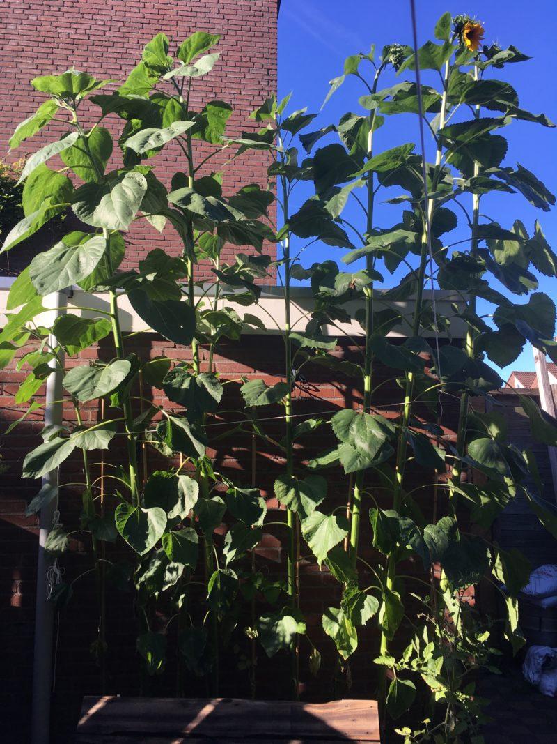Zonnebloemen Korfoe vlog